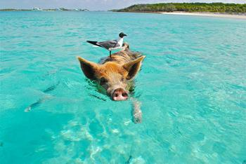 staniel cay swimming pig se